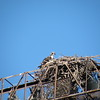 ...an osprey nesting atop the lights for the Harbour Cats baseball field.