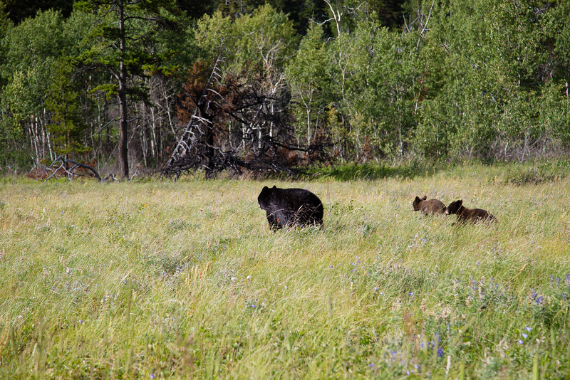 Black Bear and two cubs spotted near Red Rock Canyon