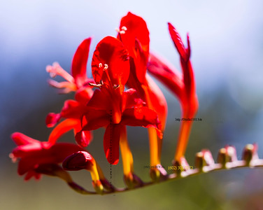 Red flower blur stem 476