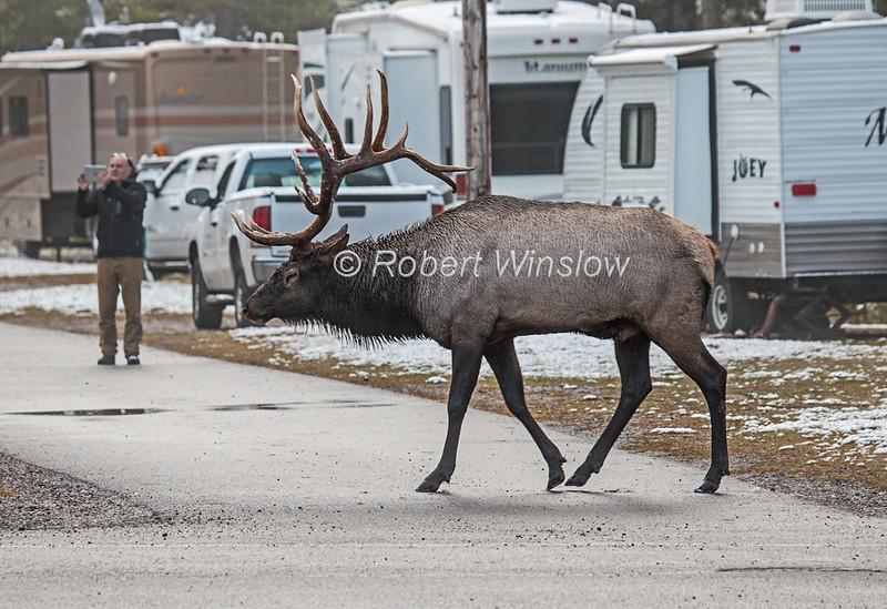 Bull Elk, Cervus canadensis, in Campground, September Snow,  Banff National Park, Alberta, Canada, North America