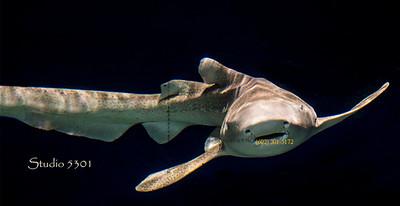 Shark 2732 PatriciaLam
