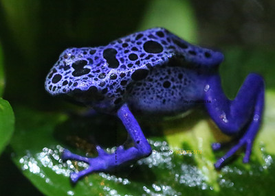 blue dart frog poisonous 3192 cf