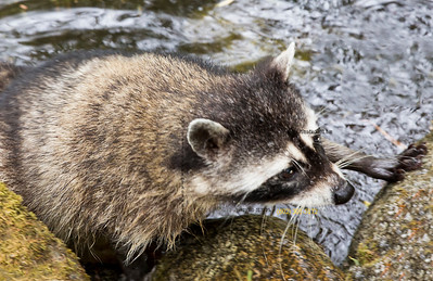 Racoon crawling out of water 2473 c