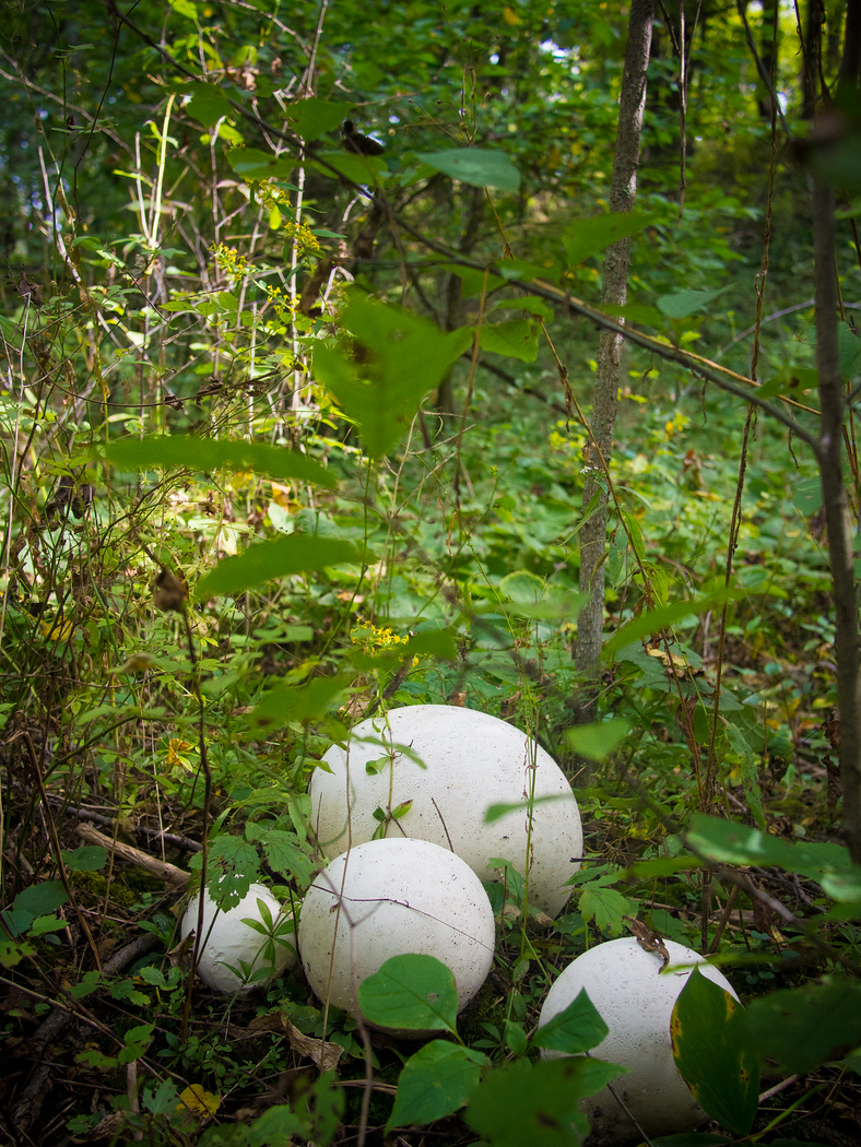 Puff ball mushrooms, just one of the edible mushrooms you can forage in Ontario, Canada.