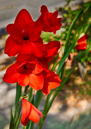 Red Hollyhocks 5327 hd