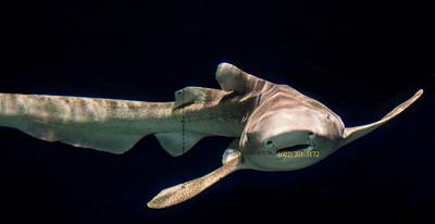 Shark 2732
