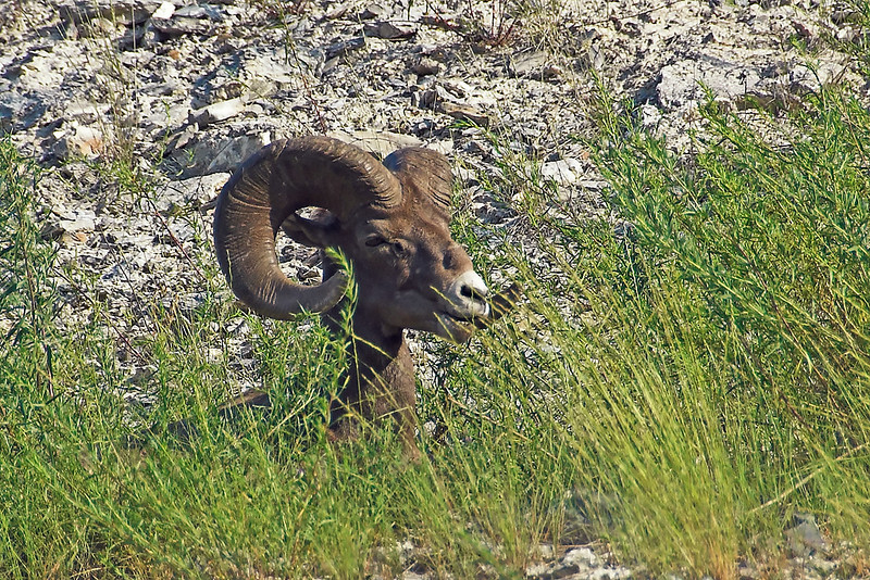 Bighorn Sheep along the highway