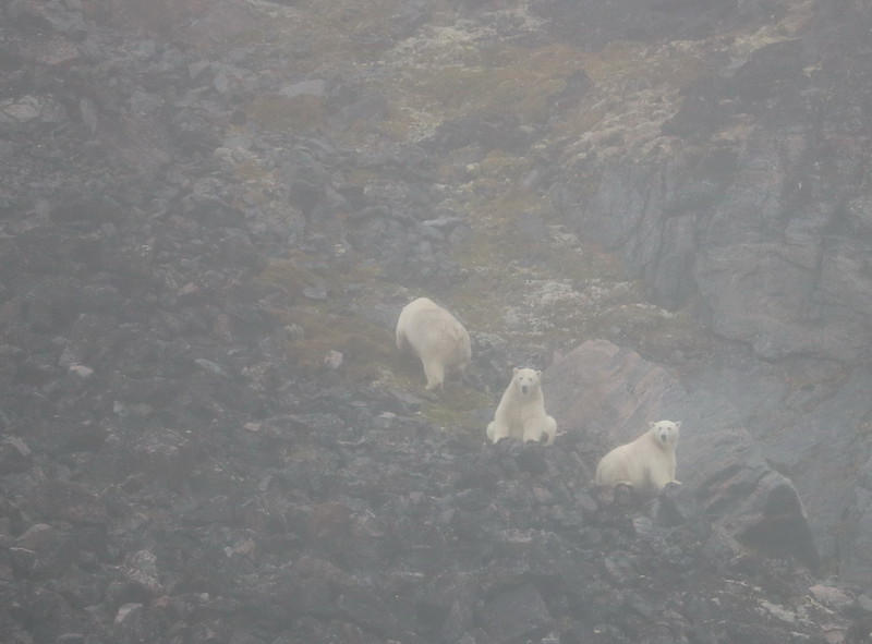 They spotted polar bears. These are pictures from those shared on the ship-board computers. First a group of three.