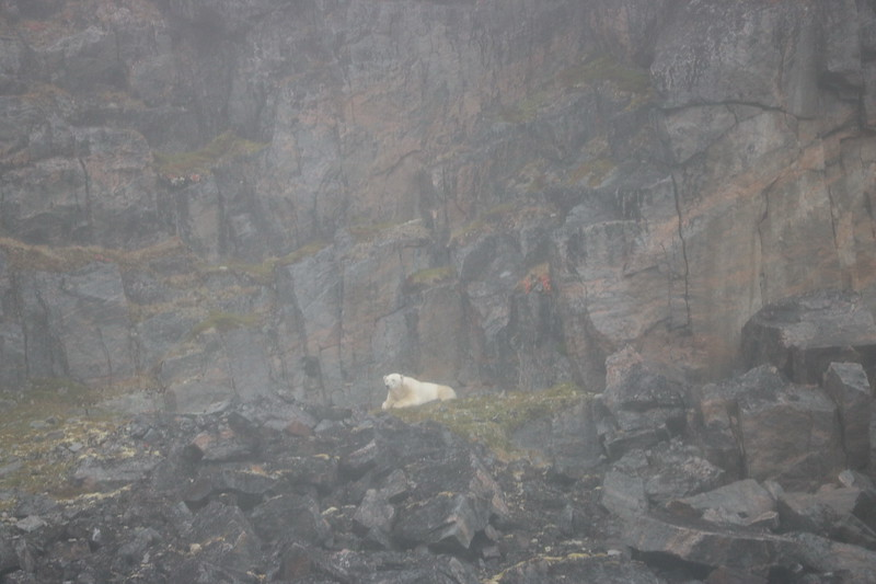 Another single polar bear. I'm told the count was seven bears, but nobody seems to have pictures of the other two.