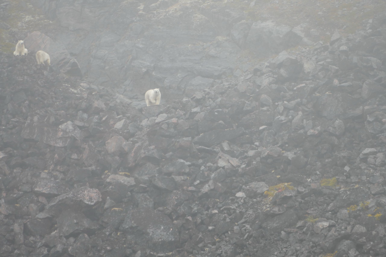 They spotted polar bears. These are pictures shared on the ship-board computers. First a group of three. Weather misty-rainy.