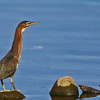 Green Heron working the tide waters