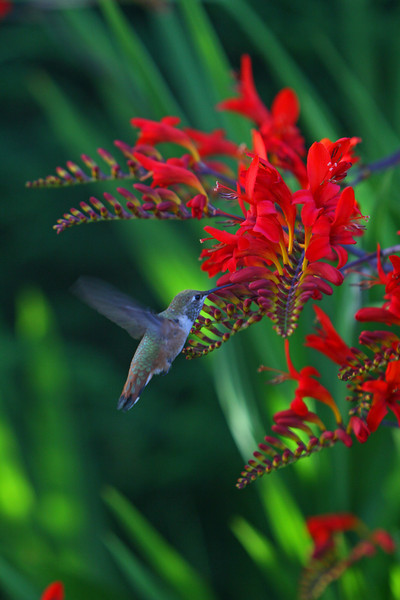 These brilliant flowers were in my garden and this Broadtail Humingbird came to visit each day.