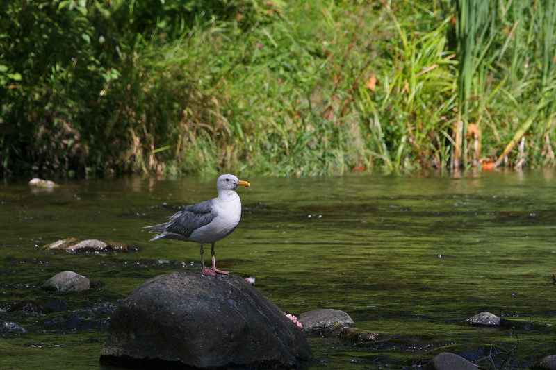 Bonaparts Gull waits for scraps from spawing salmon