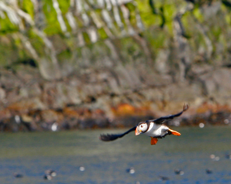 10,000 Puffins nest near whitless Bay on Great Island