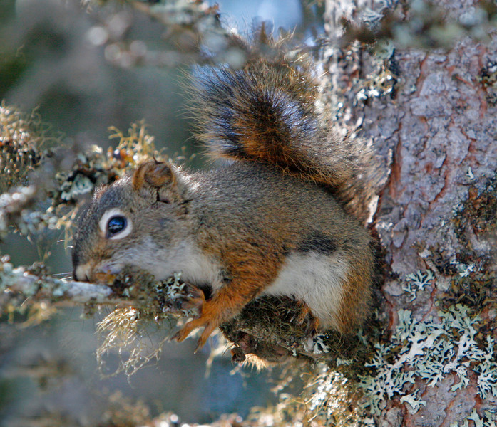 Red Squirrel is an invasive species on Newfoundland. So  is the coyote. The coyote arrived in about 1984 when the ice jammed the Straits of Bella Isle and it came from New Brunswick