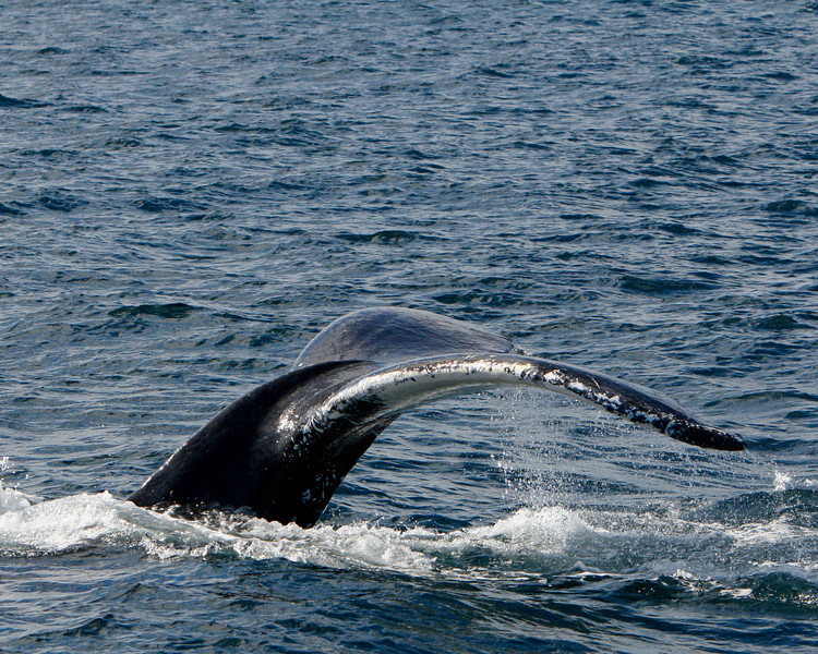 I encountered numerous Humpbacks mostly near Witless Bay on the southshore of Avalon Pennensula  NF