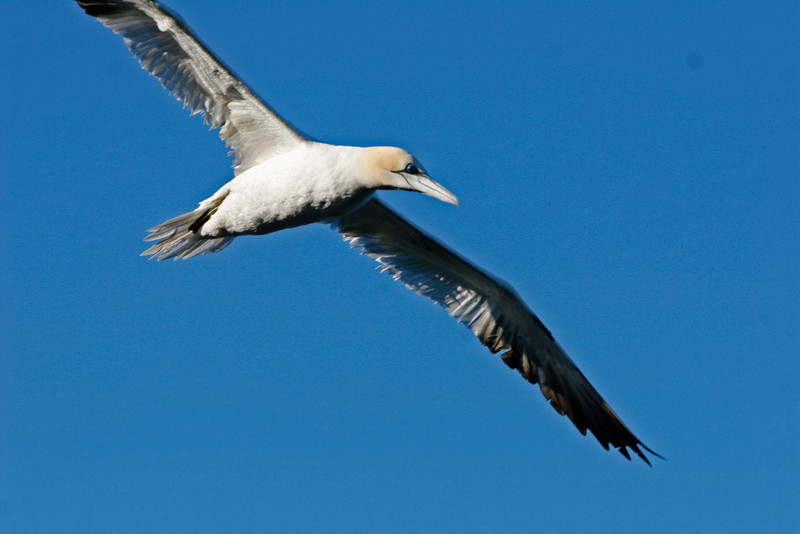 A gannet wheels on the wind near Cape St Mary's