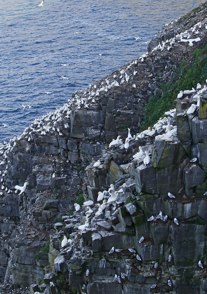 Kittiwaites nest on the rocks without much nesting material. Cape St Mary's