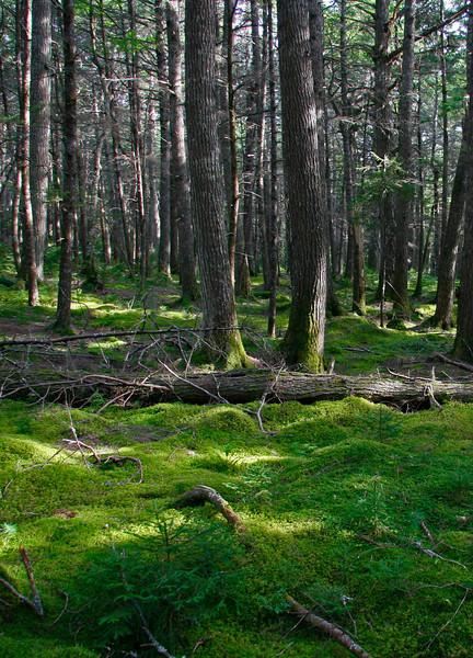 Old growth Hemlock forest in Kejie NP