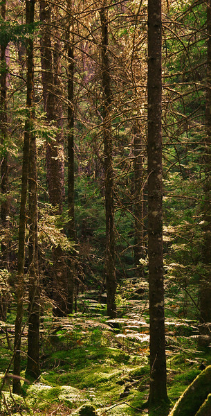 Late afternoon sun filters through a dense forest.