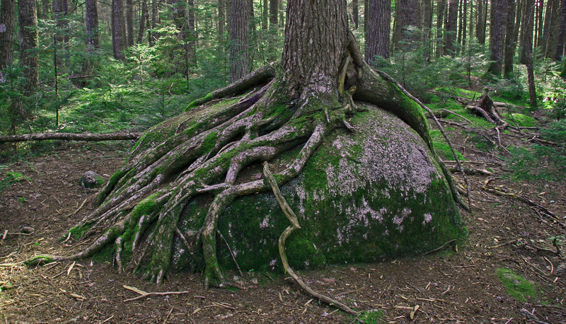 Which came first the tree or the rock?