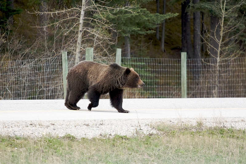 Grizzly ... Danny get back in the Car!!!