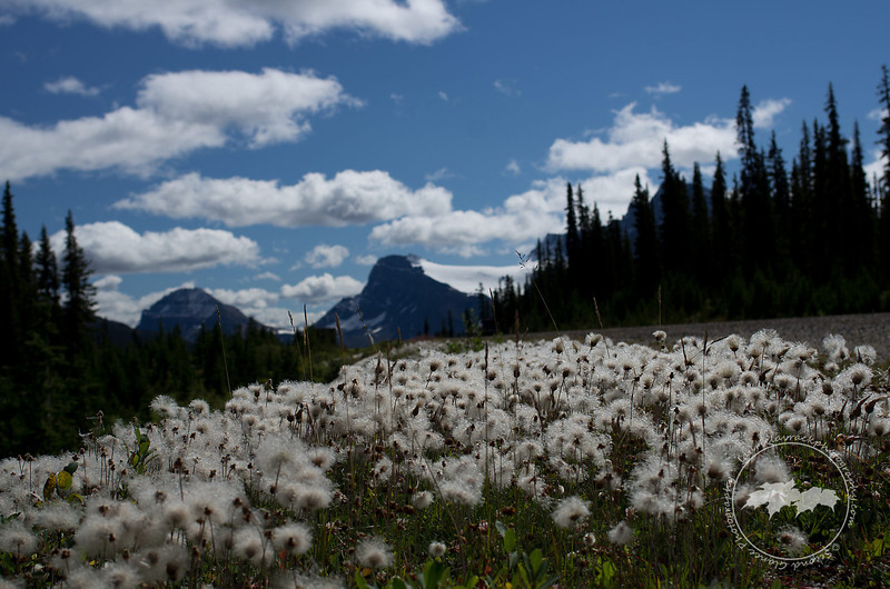 Flowers that only Dr. Seuss could have come up with. Near Peyto Lake.