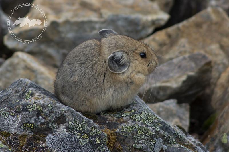 Pika on rockpile at Moraine Lake, Banff National Park
