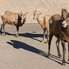 Bighorn Sheep walk along highway