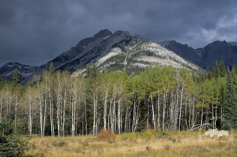 Aspens along the Bow Valley Parkway, Banff National Park