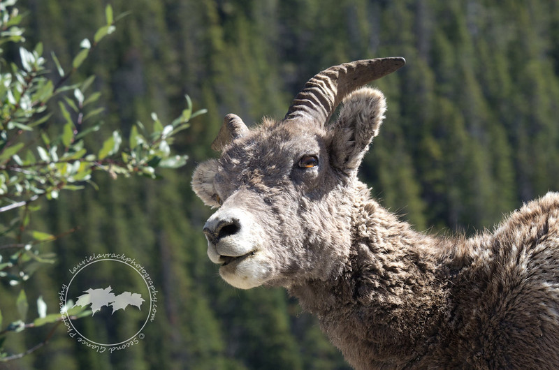 Bighorn sheep on roadside, Icefields Parkway, Banff National Park