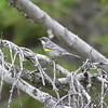 yellow rumped warbler (I think)