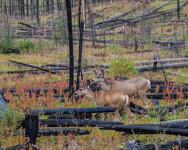 Deer in area of controlled burn