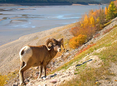 Bighorn Sheep Along the Maligne Lake Road