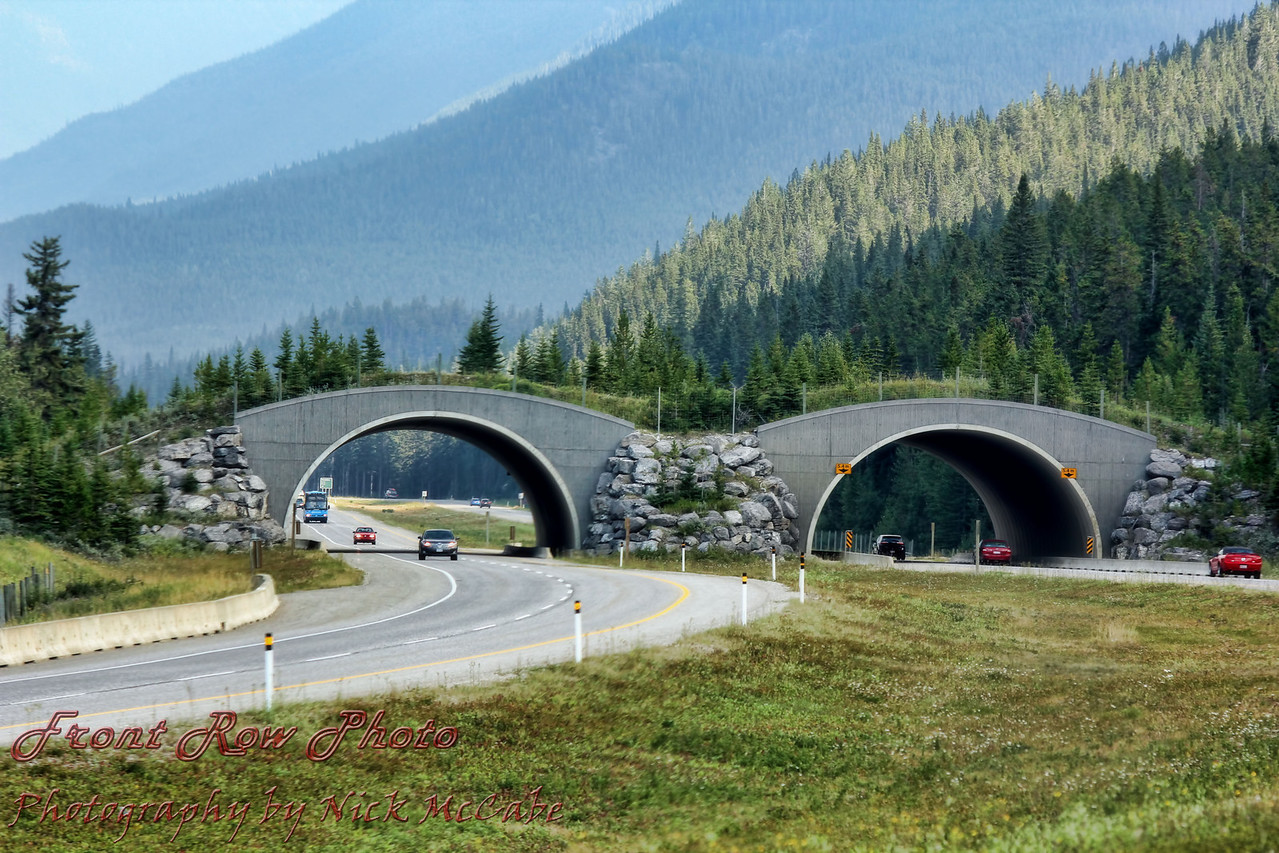 This overpass is for the animals to use. It prevents animal versus vehicle encounters, saving both human and animal lives. These are all along the highway, as well as animal underpasses.