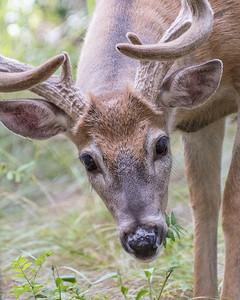 Deer, Kananaskis