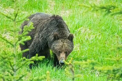 Wild Grizzlie