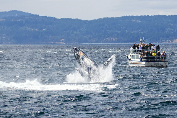 Whale Watching Off Victoria