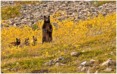 The female spots a bear in the clearing and leads her cubs to safety.