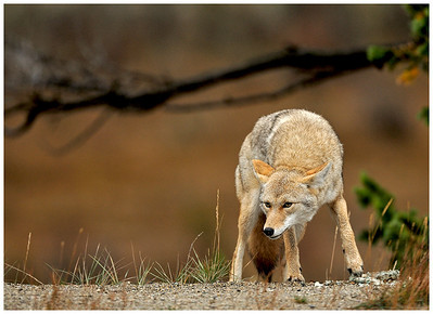 A coyote scavenges a meal.
