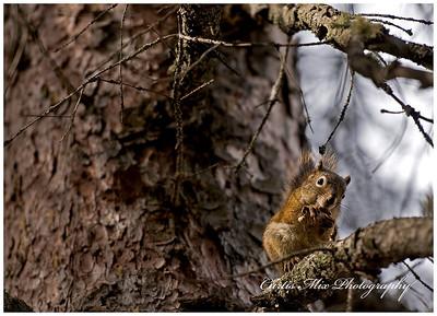 Red squirrel diet lunch.