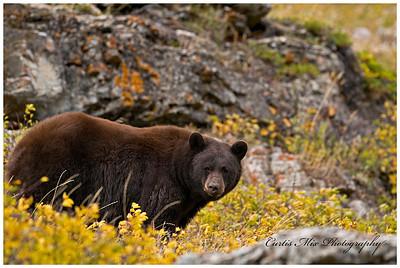 Black Bear in fall foliage.