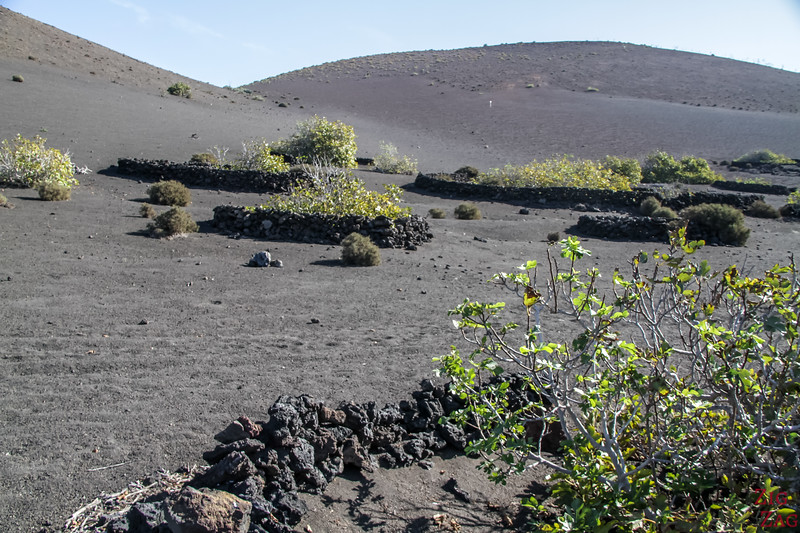 Tremesana Timanfaya National Park Walking Tour - Photo fig trees