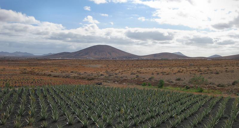 Aloe Vera crop, Fuerteventura.