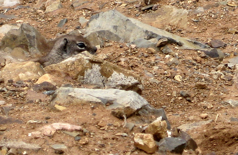 A large population of Barbary ground squirrels (often mistaken for chipmunks) can be found on Fuerteventura, originally introduced from Africa as a pet in the 1960s.