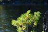 Tom Thompson Lake: day #4, White pines