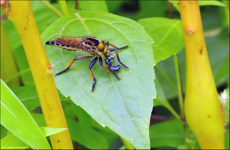 Robber fly ( I think.. ) with a kill.....