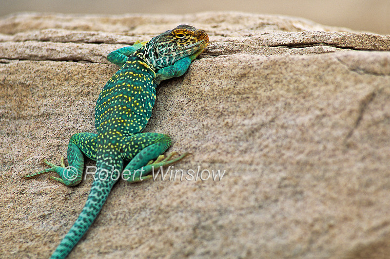 Collard Lizard, Crotaphytus collaris, Sand Canyon, Canyon of the Ancients, Colorado, USA, North America