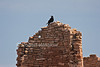 Raven on Hovenweep Castle, Hovenweep National Monument, Colorado, Utah, USA