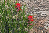 Indian Paintbrush, Castilleja chromosa, Hovenweep National Monument, Colorado/Utah, USA